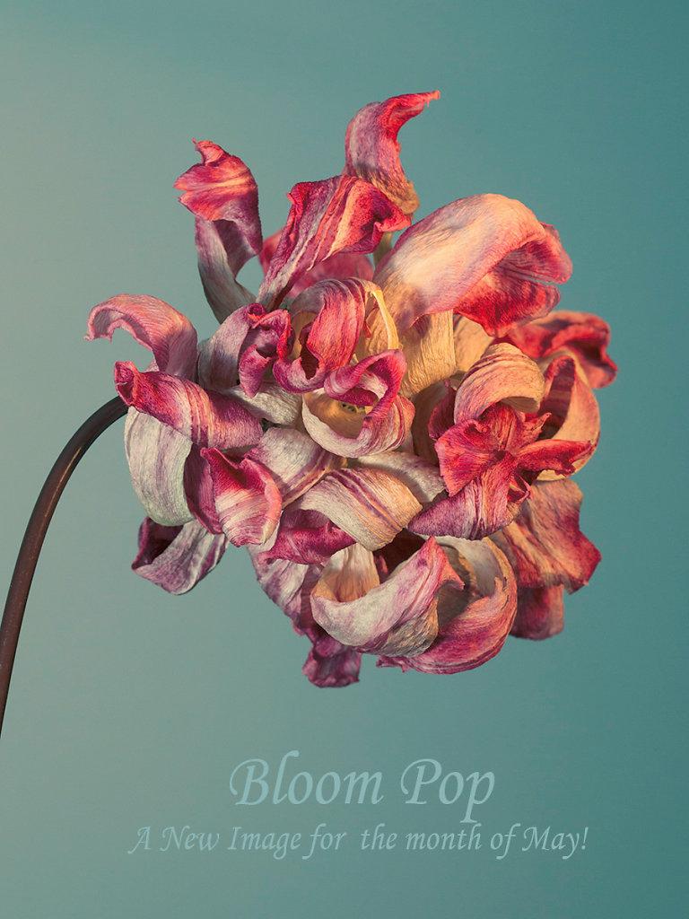 Bloom-Pop-LR-promo.jpg
